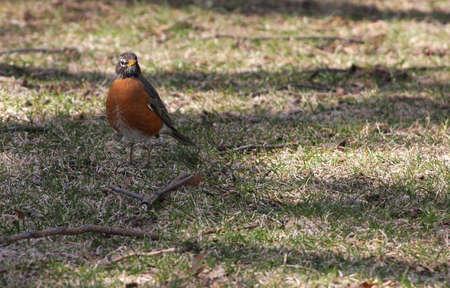 turdus: Robin (Turdus Migratorius)