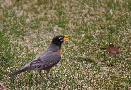 turdidae: Singing Robin