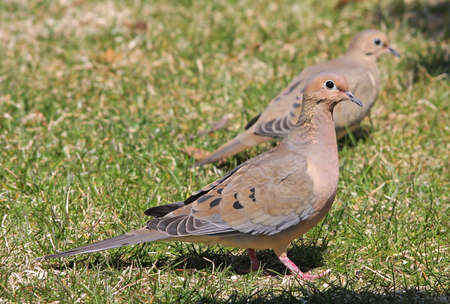 mated: Mated Mourning Doves