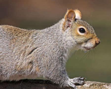 Eastern Gray Squirrel portrait photo
