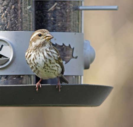 Female Housefinch on feeder Banco de Imagens