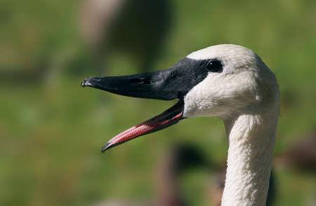 cygnus buccinator: Trumpeter Swan close-up Stock Photo