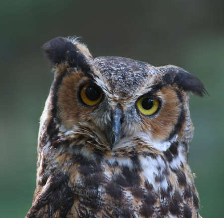 Great Horned Owl close-up photo