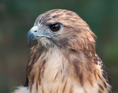 Close-up of hawk photo