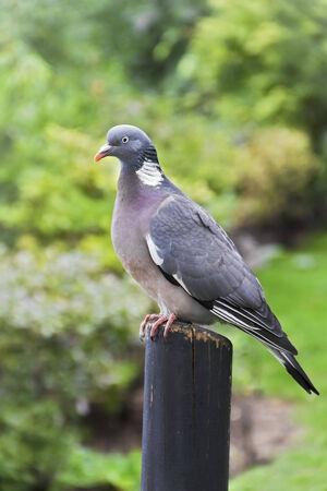 bough: Columba Livia  Pigeon  on a bough