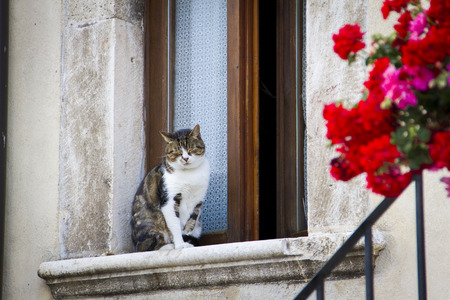 Cat resting on a window with red flowers on the right photo