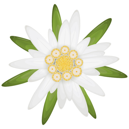 isolated edelweiss flower, symbol for german Oktoberfest and alps