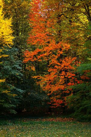 Autumn tree with a red leaf on among green trees Stockfoto
