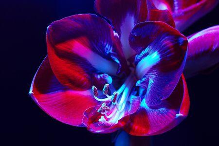Amaryllis flower on a dark background in red-blue light. Flower under neon light. Wallpaper