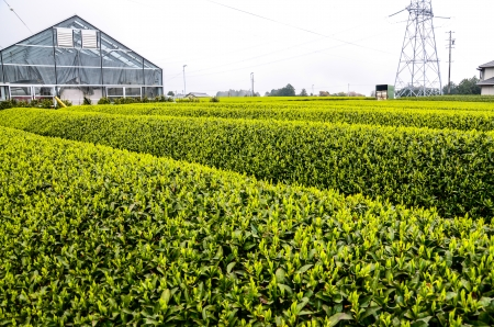 Green Tea Farm in Shizuoka Prefecture, Japan  photo