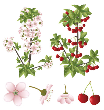 Cherry blossom and fruits Ilustracja
