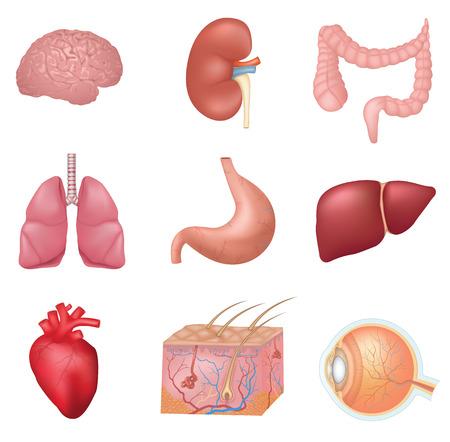 corpo umano: Umano organi interni Vettoriali