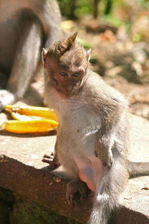 Long Tailed Macaque Scratching photo