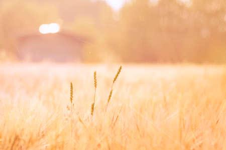 Warm Setting Sun Laying Rays at Ripe Crop Field