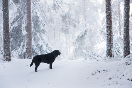 Labrador Retriever in Snowy Forest