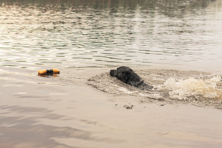 retrieving: Black Labrador Retriever Swimming and Retrieving Floating Toy at Summer Stock Photo