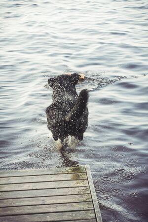 Black Labrador Retriever Jumping Into Water  at Summer