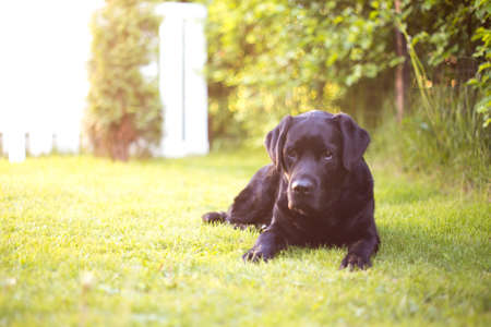 Black Lab Laying at Courtyard in Setting Sun Stock Photo