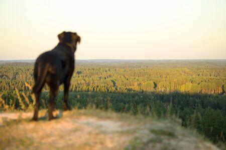 Black Labrador Retriever Standing High on Hill. Focus at Distance.