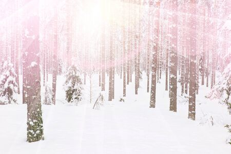 snow forest: Snow Covered Wooded Pine Forest at Winter Stock Photo