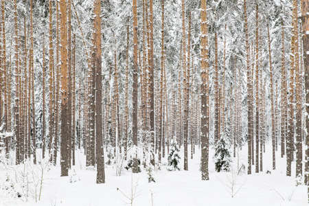 Snow Covered Wooded Pine Forest at Winter Stock Photo