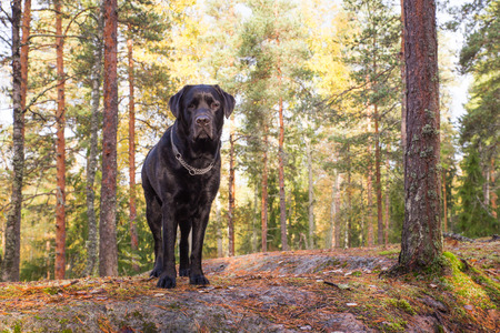 Black Lab Standing on Cliff in Autumn Forest Stock Photo