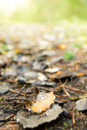 moist: Fallen Leaves Moist with Morning Dew Lying in Ground at Autumn