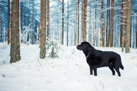 Black Labrador Retriever Standing Free in Snowy Forest