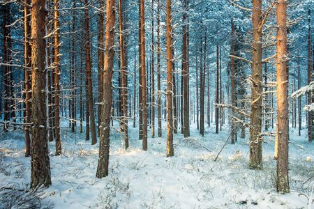 Cold Snow Covered Winter Forest