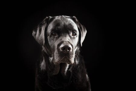 Portrait of a 6 Years Old Black Labrador Retriever Against Black Background Stock Photo