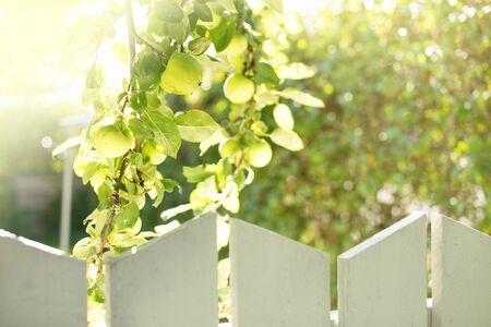 녹색 신선한 사과 울타리 뒤에 성장