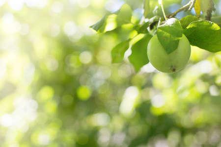 분기에서 사과 매달려 스톡 콘텐츠