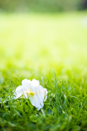 Single Fallen Flower on Green Grass