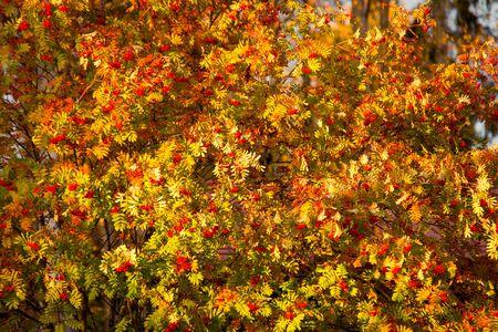 Rowan in Full Autumn Colors in Warm Evening Sunlight