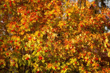 Rowan in Full Autumn Colors in Warm Evening Sunlight