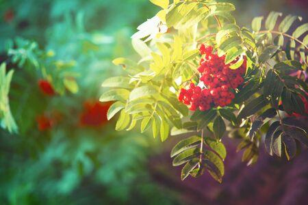 마가목의 나뭇 가지에 매달려 햇빛으로 켜져 열매의 무리