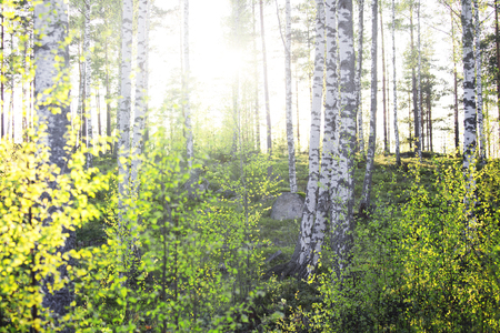 Bright Sun Shines Through Small Young Birch Leaves 스톡 콘텐츠