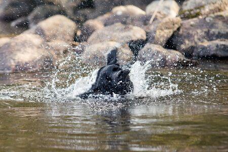 Black Labrador Retriever Shaking Off Water