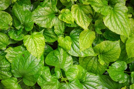 Thai medicinal plant,Wildbetal leafbush, on green background (Piper sarmentosum Roxb.)