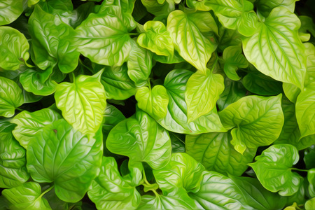 Thai medicinal plant,Wildbetal leafbush, on green background in digital oil painting style.(Piper sarmentosum Roxb.) Stock Photo