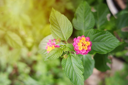 yellow and pink flower named Lantana Camara, also known as Lantana or Wild sage or Cloth of gold or Lantana flower on background Banco de Imagens