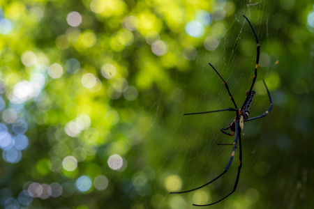 Big spider with long legs, black body with yellow spots. Nephila pilipes thai called maengmum yi thong thong kanan or mai thong (Gold silk) In the Nephila family non toxic, Helps to eliminate insects.