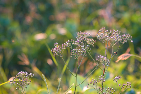Purple Fleabane , Little iron weed with blurry green grass and sunlight background. Archivio Fotografico