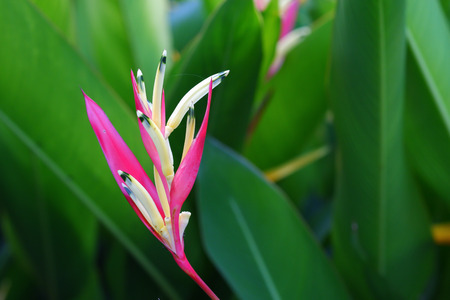 Pink heliconia flower in the garden park for decoration landscape garden area with green leaves in the background.