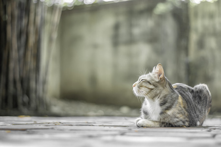 Female cat with tiger striped sleeping on the floor, Thai cat breed has nine lives, Free space background.