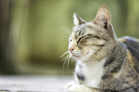 Closed up cat tabby with a tiger pattern sleeping on the floor, Thai cat breed relaxing, Free copy space.