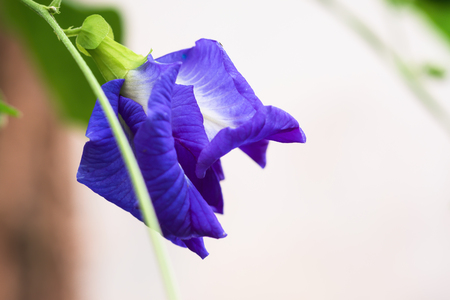 Close up butterfly pea (Clitoria ternatea L.) Beautiful purple flowers are a kind of herb. Helps nourish hair and eyes.