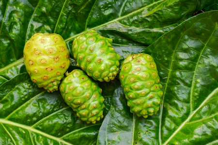Le noni tahitien, Grand morinda (Morinda citrifolia L.) vert est une plante qui aide à soigner les nausées et les vomissements, sur fond de feuilles vertes. Banque d'images