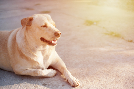 Fat dog smiles happily, resting on the floor. Thai pets. Stock Photo