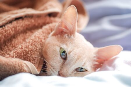 Closed up Cat cream Tabby sleeping on the bed, Thai pets breed relaxing, Free copy space. 版權商用圖片